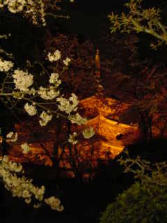 大好きな三井寺の桜です。